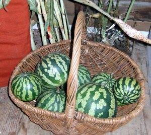 Sanford harvest3