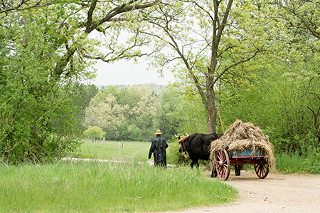 Teddy and Bear, Old World oxen, haul a load of hay through the German area of Old World Wisconsin on a wet spring day.