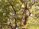 plums, Plum Creek