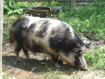 Ossabaw Hog Old WorldWisconsin